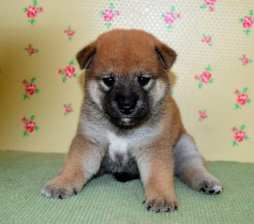 柴犬の子犬(ID:1236111026)の1枚目の写真/更新日:2018-08-24