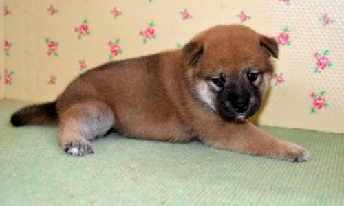 柴犬の子犬(ID:1236111026)の3枚目の写真/更新日:2018-08-24