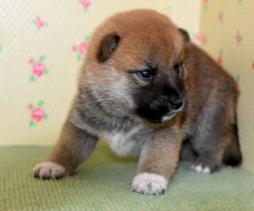 柴犬の子犬(ID:1236111027)の3枚目の写真/更新日:2018-08-24