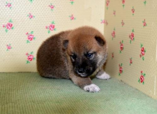 柴犬の子犬(ID:1236111028)の3枚目の写真/更新日:2018-08-24