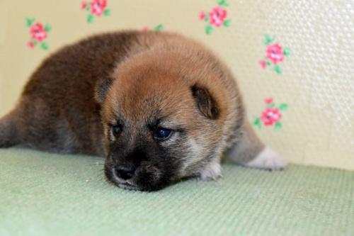 柴犬の子犬(ID:1236111028)の4枚目の写真/更新日:2018-09-08