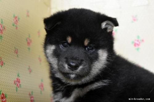 柴犬の子犬(ID:1236111029)の1枚目の写真/更新日:2018-08-27