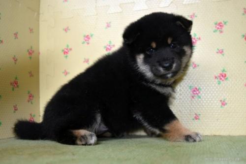 柴犬の子犬(ID:1236111029)の2枚目の写真/更新日:2018-08-27