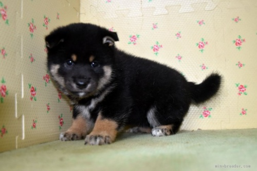 柴犬の子犬(ID:1236111029)の3枚目の写真/更新日:2018-08-27