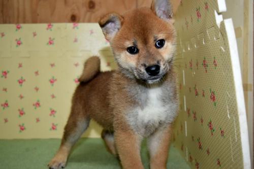 柴犬の子犬(ID:1236111062)の1枚目の写真/更新日:2017-10-20