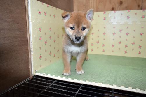 柴犬の子犬(ID:1236111062)の2枚目の写真/更新日:2017-10-20