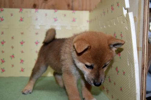 柴犬の子犬(ID:1236111062)の3枚目の写真/更新日:2017-10-20