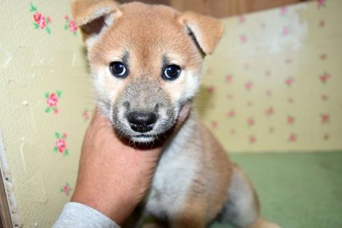 柴犬の子犬(ID:1236111064)の1枚目の写真/更新日:2017-10-20