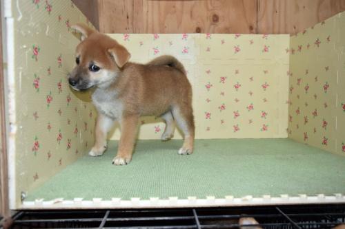 柴犬の子犬(ID:1236111064)の2枚目の写真/更新日:2017-10-20
