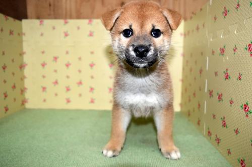 柴犬の子犬(ID:1236111065)の1枚目の写真/更新日:2017-10-20