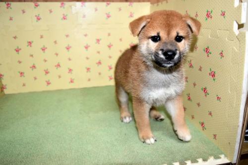 柴犬の子犬(ID:1236111065)の2枚目の写真/更新日:2017-10-20