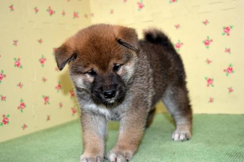 柴犬の子犬(ID:1236111066)の2枚目の写真/更新日:2017-10-20