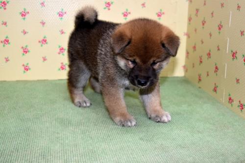 柴犬の子犬(ID:1236111066)の3枚目の写真/更新日:2017-10-20