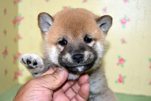 柴犬の子犬(ID:1236111067)の1枚目の写真/更新日:2017-10-20