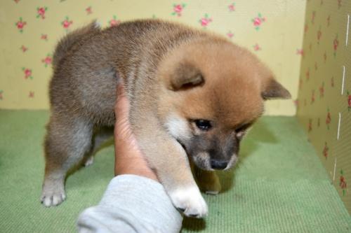 柴犬の子犬(ID:1236111067)の3枚目の写真/更新日:2017-10-20
