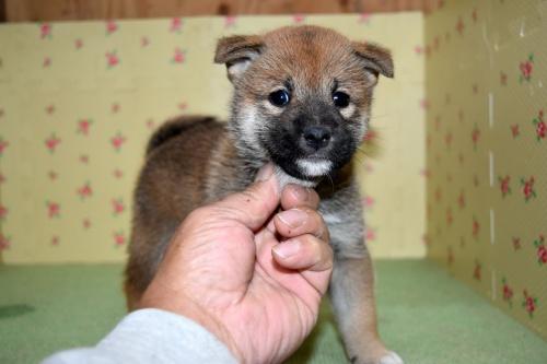 柴犬の子犬(ID:1236111069)の1枚目の写真/更新日:2017-10-20