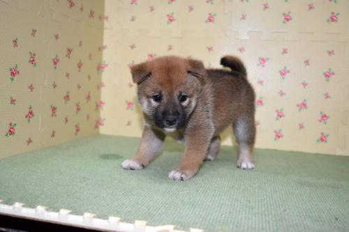 柴犬の子犬(ID:1236111069)の2枚目の写真/更新日:2017-10-20