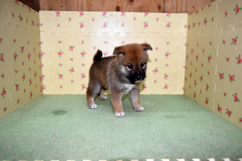 柴犬の子犬(ID:1236111069)の3枚目の写真/更新日:2017-10-20