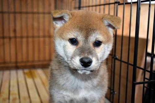 柴犬の子犬(ID:1236111071)の1枚目の写真/更新日:2017-11-17