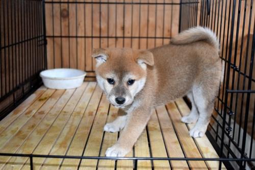 柴犬の子犬(ID:1236111071)の2枚目の写真/更新日:2017-11-17