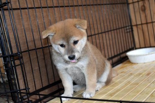 柴犬の子犬(ID:1236111071)の3枚目の写真/更新日:2017-11-17