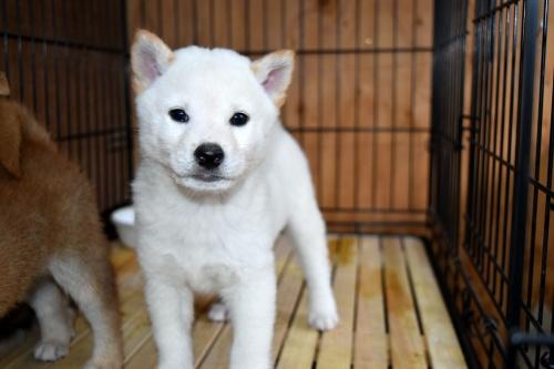 柴犬の子犬(ID:1236111072)の1枚目の写真/更新日:2017-11-17