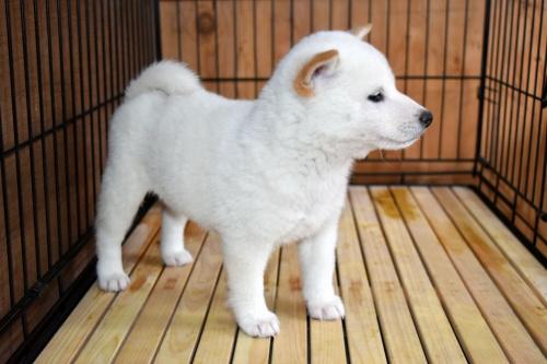 柴犬の子犬(ID:1236111072)の2枚目の写真/更新日:2017-11-17