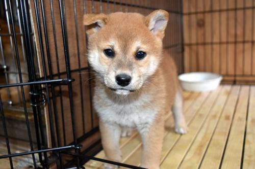 柴犬の子犬(ID:1236111073)の1枚目の写真/更新日:2017-11-17