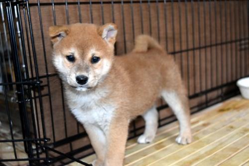 柴犬の子犬(ID:1236111073)の2枚目の写真/更新日:2017-11-17