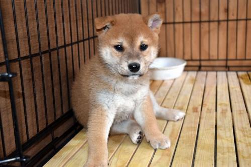 柴犬の子犬(ID:1236111073)の3枚目の写真/更新日:2017-11-17