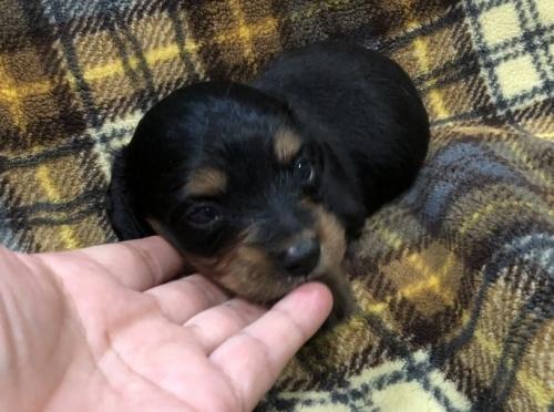 ミニチュアダックスフンド(ロング)の子犬(ID:1236211002)の1枚目の写真/更新日:2018-06-26