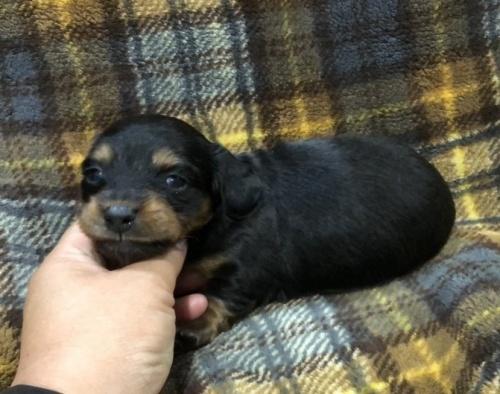ミニチュアダックスフンド(ロング)の子犬(ID:1236211002)の3枚目の写真/更新日:2018-06-26
