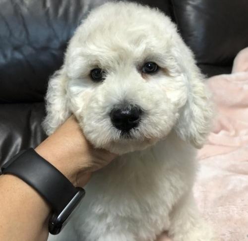スタンダードプードルの子犬(ID:1236211006)の1枚目の写真/更新日:2019-06-11