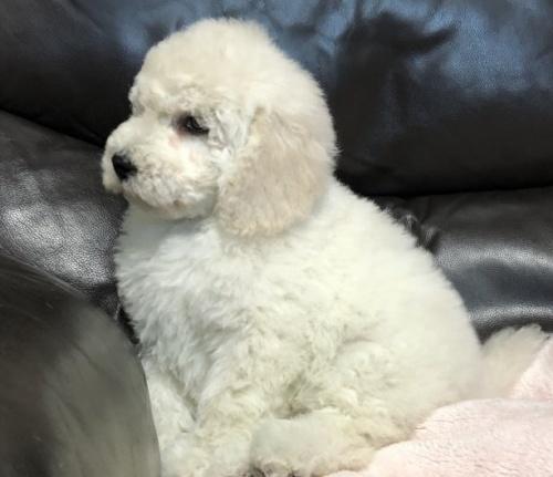 スタンダードプードルの子犬(ID:1236211006)の2枚目の写真/更新日:2019-06-11