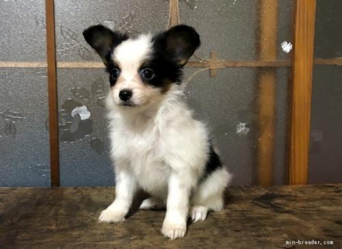 パピヨンの子犬(ID:1236211010)の1枚目の写真/更新日:2019-10-06