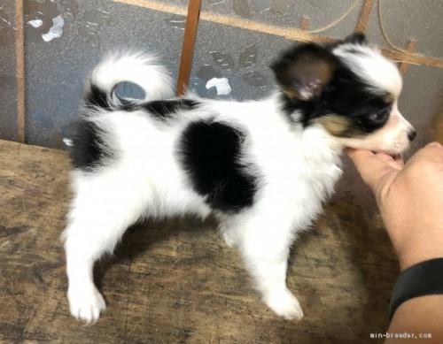 パピヨンの子犬(ID:1236211010)の3枚目の写真/更新日:2019-10-06