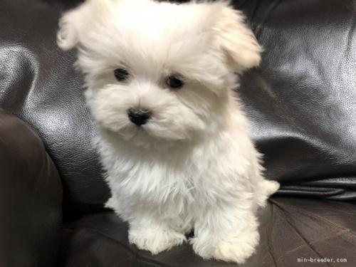 マルチーズの子犬(ID:1236211034)の1枚目の写真/更新日:2020-04-18