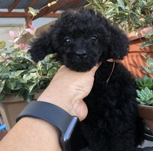 ミニチュアプードルの子犬(ID:1236211047)の1枚目の写真/更新日:2019-09-04