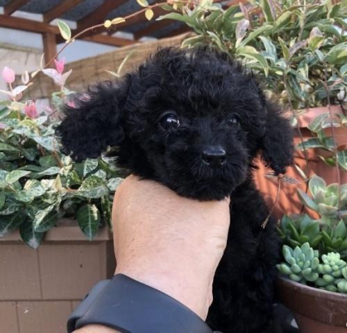 トイプードルの子犬(ID:1236211047)の2枚目の写真/更新日:2018-11-05