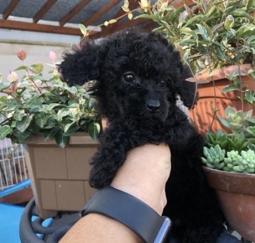 ミニチュアプードルの子犬(ID:1236211047)の3枚目の写真/更新日:2019-09-04