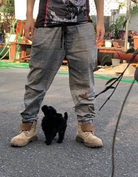 ミニチュアプードルの子犬(ID:1236211047)の4枚目の写真/更新日:2019-09-04