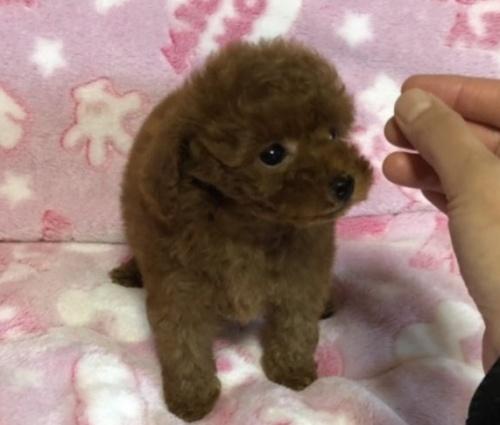 トイプードルの子犬(ID:1236211048)の2枚目の写真/更新日:2019-07-19