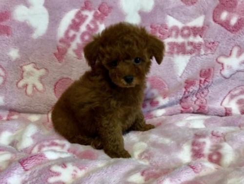 トイプードルの子犬(ID:1236211048)の3枚目の写真/更新日:2019-07-19