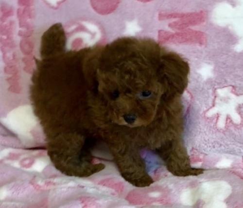 トイプードルの子犬(ID:1236211048)の4枚目の写真/更新日:2019-07-19