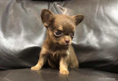 チワワ(ロング)の子犬(ID:1236211075)の3枚目の写真/更新日:2020-04-18