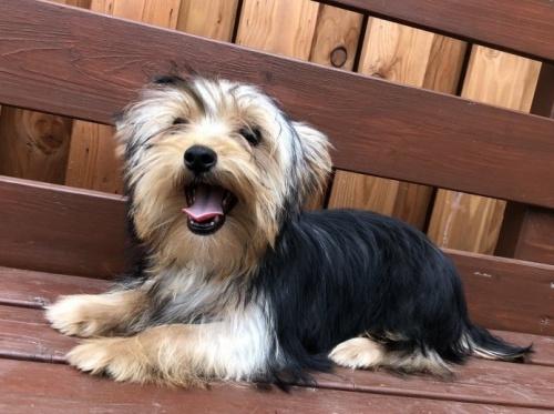 ヨークシャーテリアの子犬(ID:1236211084)の1枚目の写真/更新日:2018-06-26