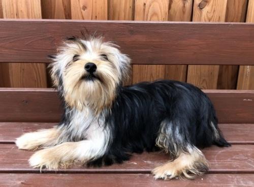 ヨークシャーテリアの子犬(ID:1236211084)の3枚目の写真/更新日:2018-06-26