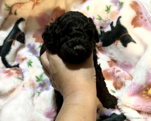 ミディアムプードルの子犬(ID:1236211092)の1枚目の写真/更新日:2020-04-18