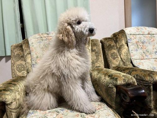 ミディアムプードルの子犬(ID:1236211094)の2枚目の写真/更新日:2018-09-29