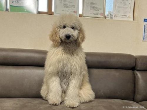 ミディアムプードルの子犬(ID:1236211094)の3枚目の写真/更新日:2018-09-29